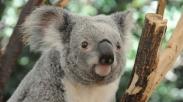 Menghadapi Zona Nyaman, Haruskah kita Menetap Atau Pergi? Yuk Belajar Dari Koala