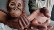 Sedih, Karena Konflik Manusia Dan Satwa, Satu Orangutan Tewas Dengan 7 Peluru