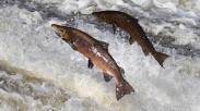 Ikan Salmon, Si Hewan Unik Yang Menghabiskan Hidupnya Untuk Berimigrasi