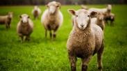 Mari Belajar Dari Domba Yang Bodoh