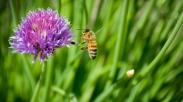 Meniru Tarian Lebah