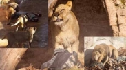 Pendeta Ini Klaim Selamat dari Serangan Teroris Karena Singa Loh!
