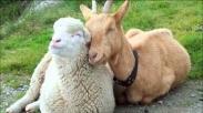 Kamu Tipe yang Mana: Domba atau Kambing?