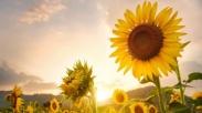 Pelajaran Penting dari Bunga Matahari