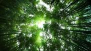 Pohon Mojuk, Butuh Proses 5 Tahun Untuk Bisa Jadi Pohon yang Paling Tinggi