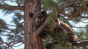 Beruang Penakut