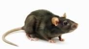 Seekor Tikus Kerdil