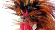 Beternak Ayam Bermahkota, Berani Coba?