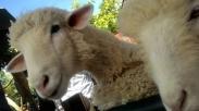 Jangan Jadi Kambing, Jadilah Domba