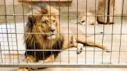 Jangan Hidup Seperti Singa Yang Dikandangi, Tuhan Merancangkan Kehidupan Yang Hebat Bagimu
