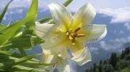 Perhatikanlah Bunga Bakung Di Ladang!