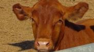 Lembu Merah Yang Sempurna Lahir Di Israel,  Tanda Awal Akhir Zaman Sudah Dekat?