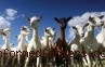 Raup Penghasilan Tambahan dengan Usaha Ternak Kambing